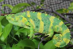 A young Meller's chameleon (Trioceros melleri)  I've seen these guys in person. They are the coolest.