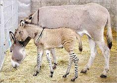 zonkey colt with his mum, a donkey
