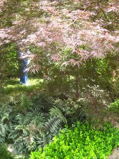 Shade plants under japanese maple - love the color contrast