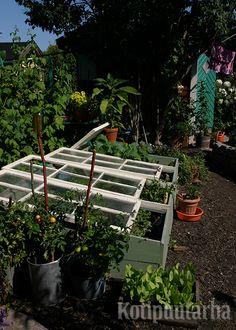 Käytännölliset laudasta rakennetut kasvilavat keräävät hyvin lämpöä, kun päälle asennetaan vanhat ruutuikkunat.