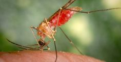 Malaria can alter the behavior of insects that spread it.