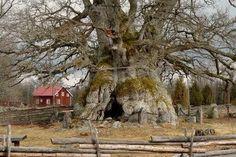 oak 'Rus' ROGALIN