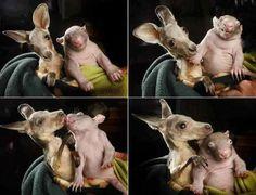 Baby Kangaroo And Baby Wombat Friends