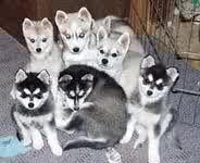 Klee Kai, I want one!(: