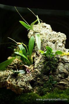 Another view of my Miniature Orchid Trial Terrarium.  Bulbophyllum falcatum 'Minor', Masdevallia decumana, Masdevallia rechingeriana, Lepanthopsis astrophora 'Stalky', and Dryadella simula, are all flowering inside this terrarium.