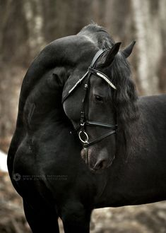 """""""Fredrick loves his new bridle and browband!"""" """"I remember when this boy was a baby! Horses And Dogs, Cute Horses, Pretty Horses, Horse Love, Wild Horses, Majestic Horse, Majestic Animals, Most Beautiful Horses, Animals Beautiful"""