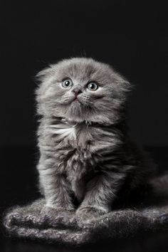 gray kitten ~ so cute