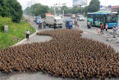 5000 patos a la carrera  Estas sorprendentes imágenes son del caos que se formó en una carretera de la ciudad de Taizhou (China), que tiene seis millones de habitantes, cuando un granjero decidió trasladar a sus 5000 patos a una laguna cercana.   Un reflejo del rápido crecimiento urbano chino y su cada vez más acorralado mundo rural.
