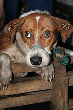 The Philippines' Illegal Dog Meat Trade-- God help these animals;  people continue to abuse them.  OMG stop humans from hurting animals.   I'd say never visit any of these countries that abuse animals--don't give them your tourist dollars.