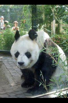 Bao Bao the male giant panda who lived in Berlin