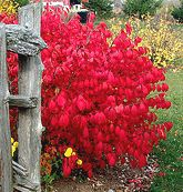 Burning Bush: (Euonymus alatus) Part to full sun  Hardy in Burning Bush fall colorzones 4-8.  A colorful hardy shrub in fall it has deep eme...