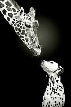 Giraffe and Dalmatian Lovely black and white photo © Werner Dreblow. Beautiful Creatures, Animals Beautiful, Funny Animals, Cute Animals, Wild Animals, Nature Animals, Unlikely Friends, Tier Fotos, Mundo Animal