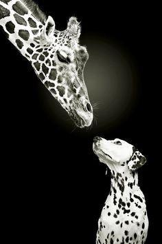 Giraffe & Dalmatian