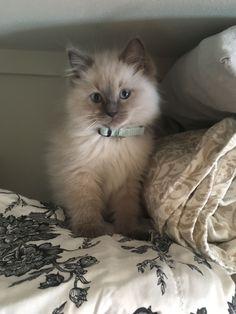 Cute lilac ragdoll kitten... my little bubba #ragdollcattypes