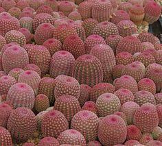 Echinocereus pectinatus var. rigidissimus (por plantmanbuckner