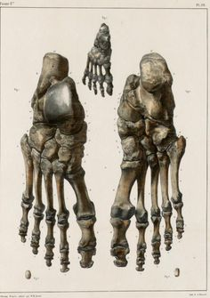 ANATOMY http://4.bp.blogspot.com/-2nzU6TU7fGc/TcdUpVPjSBI/AAAAAAAAHF4/T5xwT__ZJpE/s1600/Foot+bones+of+an+adult+and+an+infant.jpg