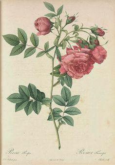 Ultimissime dall'orto: le rose di #Redouté