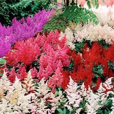 Astilbe Bunter Seeds Mix ,What a variety of colors: violet, red, pink, cream and white as well as dark green, serrated foliage.