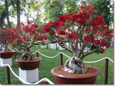 Rosa do Deserto – como cuidar desta planta de beleza única | Blog Jardinices