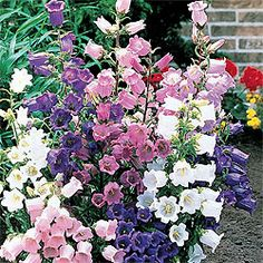 * Canterbury Bells Light: Full sun to partial shade Height: Bloom Time: Late spring to midsummer Size: Bareroot Zones: 5 to 9 Mixed Border, Spring Hill Nursery, Sun Perennials, Sun Plants, Bulb Flowers, Pastel Flowers, Ornamental Grasses, Amazing Flowers, Dream Garden