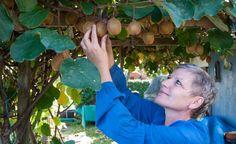 Kiwi richtig pflanzen, pflegen und schneiden -  Lust auf Kiwis aus eigenem…