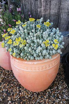 Sedum Silver Blob Container Plants, Container Gardening, Succulent Pots, Planter Pots, Plant Care, Potted Plants, Spaces, Purple, Image