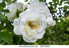 #Closeup #white #rose #garden