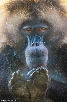 national++Amazing.+capture | Late night? Amazing pictures capture human-like yawns of baboon as she ...