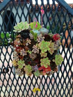 Succulents in a gopher basket.
