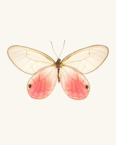 Cithaerias Aurorina / Pink Glasswing Butterfly.  Fine Art  Print by Allison Trentelman | rockytopstudio.com