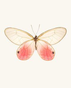 Cithaerias Aurorina / Pink Glasswing Butterfly. Fine Art Print by Allison Trentelman | rockytopstudio.com