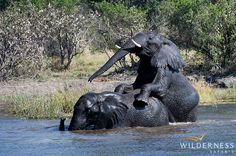 Banoka Bush Camp - Away from the river there is a wonderful mix of acacia and leadwood trees of varying sizes that abuts into mopane woodland. The latter together with the permanent presence of water attracts large numbers of elephants to the area.  #Botswana #OkavangoDelta #Safari #Africa