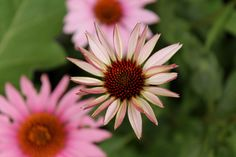 Pink Echinacea (Cone Flower) Photograph