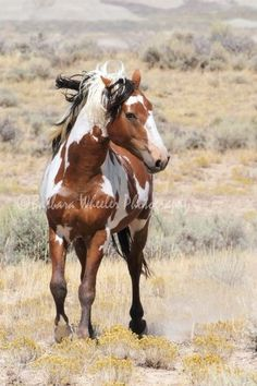 Meet Picasso of the Sand Wash Basin ustangs. He's probably about as iconic for the SWB mustangs as Cloud is for the Pryor herds.    The BLM is doing a damn good job of eradicating these horses. From what I can gather, they might just be worse off than the Pryors.    Picasso is estimated to have been born in '89.