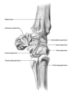 Carpal bones | Lateral view of the equine carpal joint