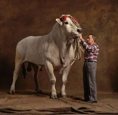 Chianina bull, from Italy, is the tallest, and heaviest, of cattle breeds, in the world. Bred for meat.cattle breed there is. Bred for meat.