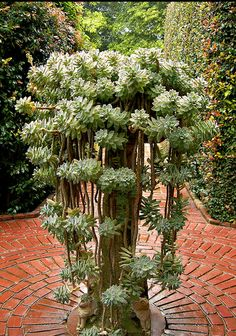What a focal point of interest this succulent in the tall planter makes!