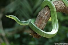 红尾树栖锦蛇 Gonyosoma oxycephalum