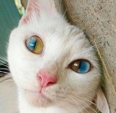 - your daily dose of funny cats - cute kittens - pet memes - pets in clothes - kitty breeds - sweet animal pictures - perfect photos for cat moms Pretty Cats, Beautiful Cats, Animals Beautiful, Pretty Kitty, Gorgeous Eyes, Beautiful Artwork, Baby Animals, Funny Animals, Cute Animals