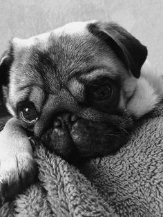 Cute Pug Puppies, Pet Puppy, Cute Dogs, Dogs And Puppies, Doggies, Pugs And Kisses, Baby Pugs, Pug Love, Cute Baby Animals