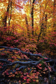 A Fall Forest  by Saija Lehtonen