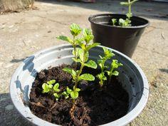 Gek op verse munt thee? Met gemak creëer je je eigen verse munt voorraad in de tuin. Fotoverslag en tips voor munt in je tuin.