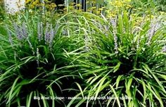 Big Blue Liriope grass is an extremely versatile ornamental grass with thick evergreen blade like foliage forming a very thick, dense clump when mature. Blue colored flower spikes appear throughout the summer, followed by bluish black colored berries.