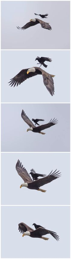 Thug life level- Crow   http://ift.tt/1TcrLAC via /r/funny http://ift.tt/27g7NMD  funny pictures