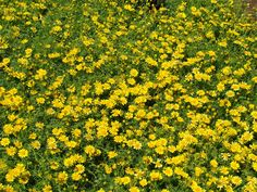 23 best yellow flowers images on pinterest gardens beautiful this is a free spirited diminuative plant that is able to naturalize across yours and mightylinksfo