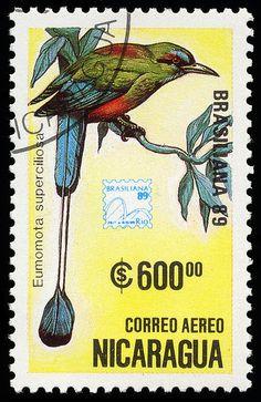 Eumomota superciliosa, Nicaragua, 1989