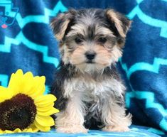 Morkie Puppies For Sale, Cute Baby Puppies, Free Puppies, Tiny Puppies, Baby Dogs, Cute Baby Animals, Puppies Tips, Yorkie Poo Puppies, Havanese Dogs