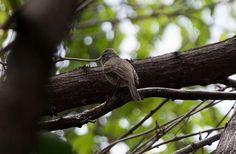 Foto risadinha (Camptostoma obsoletum) por Evaldo Nascimento | Wiki Aves - A Enciclopédia das Aves do Brasil