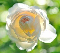 Flower Photos, Plants, Painting, Inspiration, Austin Rose, Roses Garden, David Austin, Chrome, Castle