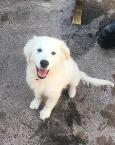 Kerry is 3 months old! Big Dogs, Dogs And Puppies, 3 Month Olds, Types Of Food, 3 Months, Labrador Retriever, Blog, Animals, Labrador Retrievers